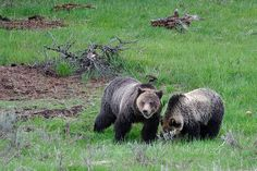 """Another pinner said: """"Grizzly Sow and Cub - They're coming out of hibernation about now.  Here are some safety tips from Montana Fish Wildlife and Parks! http://www.makeitmissoula.com/2013/03/montanas-hibernating-grizzly-bears-will-soon-be-stirring/#"""""""