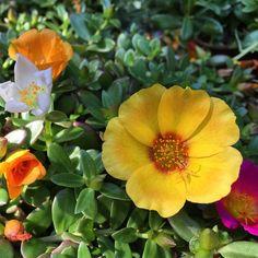 Selfie de #portulaca umbraticola #verbenaceae #plants #plantas #flores #flowers #jardin #garden