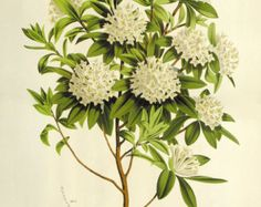 """""""daphne flower drawing"""" - Google Search"""