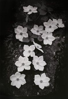 "Ansel Adams, USA (1902 - 1984).  ""Dogwood Blossoms"", from Portfolio Three: Yosemite Valley. 1938; printed 1959"