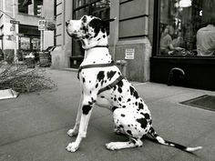 Maybe I can trick Russell into thinking its a Dalmatian for the fire department ?!?! Lol