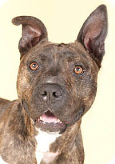 Chicago, IL - American Pit Bull Terrier. Meet Austin, a dog for adoption. http://www.adoptapet.com/pet/12172359-chicago-illinois-american-pit-bull-terrier