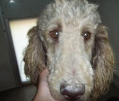 Coming - Special Needs eye issues is an adoptable Standard Poodle Dog in Antwerp, OH. New Bio coming, please be patient. 7-10-12 Coming soon. 1.5 year old special needs standard poodle out of a puppy ...