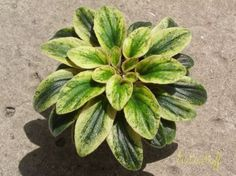 I would LOVE to find a start of this! Fool's Gold (C. Perennial Flowering Plants, Herbaceous Perennials, Foliage Plants, Room With Plants, Live Plants, Plant Rooms, Saintpaulia, Houseplants, Flower Power