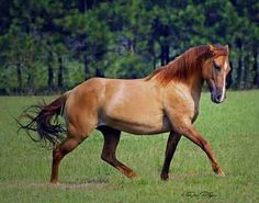 Marsh Tacky Horse --now rare -whose ancestors were left by colonial Spanish explorers. #horses