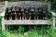 Gordon Setter pups. Gordon Setter dog art portraits, photographs, information and just plain fun. Also see how artist Kline draws his 110 different dog breeds using only words at drawDOGS.com #drawDOGS He also can add your dog's name into the lithograph.