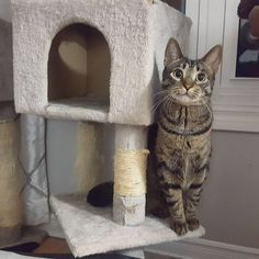 Lila posing with the cat tree!