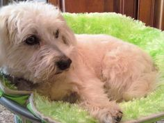 Oscar, the first PoochieBells dog. #carrinterrier #dogbell #dogsuperstar