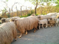 animal,sheep  photo Meral Meri