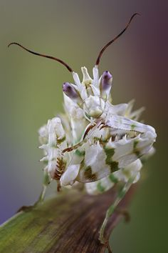 Spiny Flower Mantis by Marco Fischer on 500px