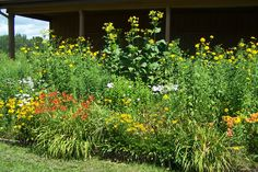Brenda's garden July 30 Tall Plants, Perennials, Herbs, Garden, Garten, Herb, Lawn And Garden, Perennial, Outdoor