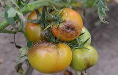 Každý pestovateľ sa snaží priviesť svoju snahu do zdarného konca k bohatej úrode. Keď sa s láskou staráte o svoje rastlinky, nechcete, aby vaša námaha vyšla nazmar kvôli chorobám, či škodcom. Agresívne chemické postreky však … Permaculture, Eucalyptus Citronné, Salvia, Vegetables, Fruit, Plants, Food, Plus Jamais, Melons