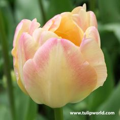 Double tulips have large long lasting blooms that are excellent cut flowers. The double flower refers to the peony like bloom. Creamy yellow interior and very creamy exterior with cottled cream and pale pink overlay. Symbolizes eternal happiness and. Tulips Garden, Garden Bulbs, Planting Bulbs, Fall Plants, Foliage Plants, Bulb Flowers, Tulips Flowers, Daffodils, Tulips Holland