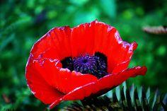 Poppy [rev] by russell.tomlin, via Flickr