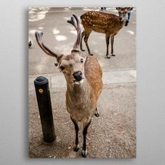 The Curious Deer of Nara Japa. by Andy Aspray Wall Art Prints, Canvas Prints, Nara, Kangaroo, Giraffe, Deer, Canvas Art, Wall Decor, Fine Art