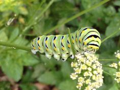 This catepillar loves my parsley! #caterpillar #butterfly #chrysila