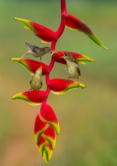 Red Heliconia flower, Hawaii Exotic Birds, Colorful Birds, Exotic Flowers, Tropical Flowers, Tropical Garden, Especie Animal, Mundo Animal, Hope Is The Thing With Feathers, All Birds