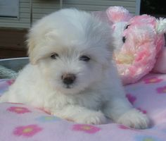 coton de tulear puppy!  Looks just like my lil' Harvey...only he was even cuter!