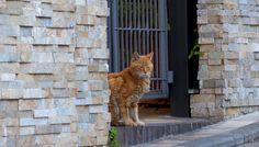 茶トラ猫(011)猫写真-横浜 #猫写真