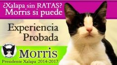 Candigato Morris. Elecciones al Ayuntamiento de Xalapa, Veracruz, México. ¬¬