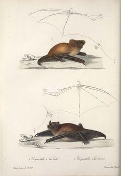 Common Noctule or Noctule or Common Noctule Bat, Serotine or Serotine Bat or Common Serotine Bat or Big Brown Bat or Silky Bat   ...