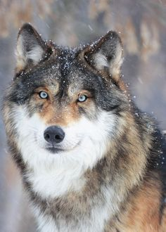 Wolf with beautiful eyes in snowfall Hund - Hund welpen - Rottweiler hund - Hund bilder Wolf with be Wolf Photos, Wolf Pictures, Animal Pictures, Nature Animals, Animals And Pets, Cute Animals, Wild Animals, Farm Animals, Wolf Spirit