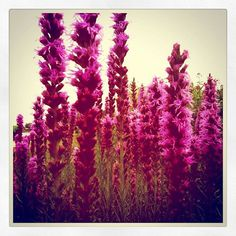 Describe your pin   Dreamy Vintage Floral Liatris Fine Art Polaroid Photography print by ThePrancingFox on Etsy
