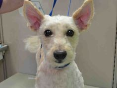 Brooklyn Center YANKEE – A1054354  MALE, WHITE, POODLE STND MIX, 3 yrs OWNER SUR – EVALUATE, NO HOLD Reason PERS PROB Intake condition EXAM REQ Intake Date 10/10/2015
