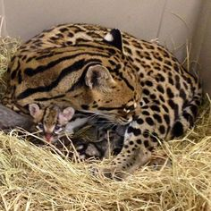 Ocelot kitten at Abilene Zoo