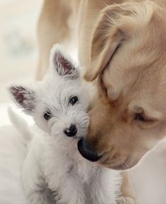 Westie and a lab