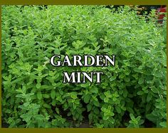 Garden Mint  OverSoyed Fine Organic Products  by OverSoyedOrganics
