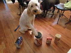 LilyBelle correctly identifies the food that contains nuts.  She is a life saving goldendoodle  is a  service dog who looks for nuts for his owner who has a nut allergy!