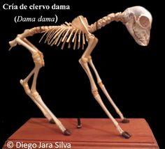 esqueleto de ciervo