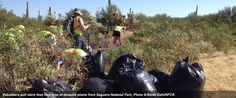 Good News Read: Volunteers help out on National Public Lands Day, including by pulling invasive buffelgrass at Saguaro National Park.