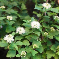 Lännenheisiangervo - Kekkilä Plants, Plant, Planets