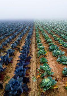 Endless Cabbage Field Photo by Malgorzata Walkowska -- National Geographic Your Shot