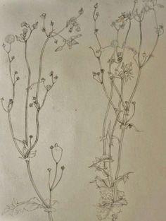 Sow thisle (Sonchus oleraceus) - Chisako Fukuyama, Pencil drawing, http://chisako-fukuyama.jimdo.com/pencil-drawings-dessin/