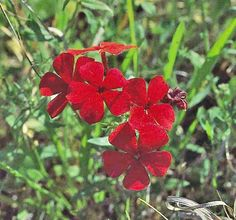 Drummond phlox - (Phlox drummondii)  Native to Texas but adapted throughout the southeastern United States.