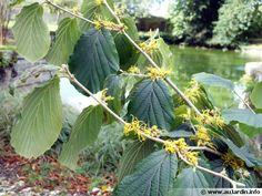 Hamamelis x intermedia | Witch Hazel | Hamamelidaceae