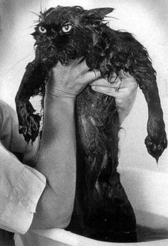 What my cat would look like after a bath and right before clawing me to pieces!