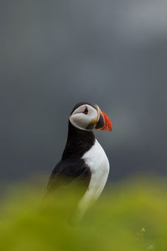 Skomer Island is one of a few places in the UK to see puffins. Located in Pembrokshire in south West ...