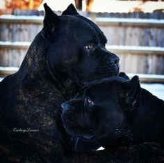 ) Don't insult this breed! These dogs are a ancient bred. nice puppies are expensive plan to pay Cane Corso Italian Mastiff, Cane Corso Mastiff, Cane Corso Dog, Cane Corso Puppies, War Dogs, Cute Dogs, I Love Dogs, Dog Shaming, Animals And Pets