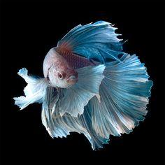 Peixes-Betta2
