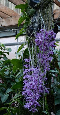 The Orchid Column: April flowering orchids Dendrobium Anosmum