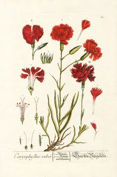 Elizabeth Blackwell Herbarium by Jacob Trew 1757 - Carnation