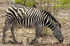 Zebra with an unusual pattern - photo by Elize Olivier / Bushbaby Adventures, via Facebook  (11/29/15)         https://www.facebook.com/992747760784563/photos/a.1013332828726056.1073741829.992747760784563/1044222135637125/?type=3&theater