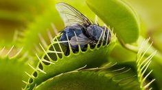 Les feuilles de la Vénus attrape-mouches ( Dionaea muscipula) sont actionnées par des «poils» sensibles qui déclenchent la fermeture du piège dès qu'un insecte s'y pose. Mieux: la plante sait distinguer entre un être vivant et une goutte de pluie!