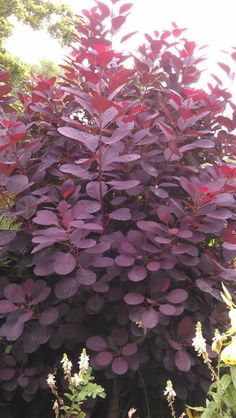 Buy Cotinus coggygria 'Royal Purple', Smoke bush, online plants for sale, at Urban Jungle plant nursery via mail order. Purple Plants, Sun Plants, Foliage Plants, Red Shrubs, Trees And Shrubs, Trees To Plant, Purple Shrubs, Shrubs For Borders, Garden Shrubs