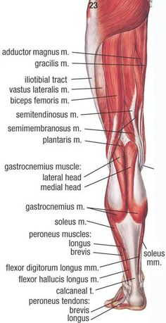 view of a left leg, mapping the location of the different muscles that make it up.Posterior view of a left leg, mapping the location of the different muscles that make it up. Leg Muscles Anatomy, Human Muscle Anatomy, Leg Anatomy, Human Anatomy And Physiology, Anatomy Study, Anatomy Reference, Anatomy Drawing, Anatomy Organs, Heart Anatomy