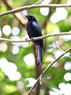 Greater Racket-tailed Drongo at Dairy Farm Nature Reserve.